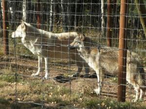 a wolf 3