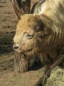 r white buffalo 2