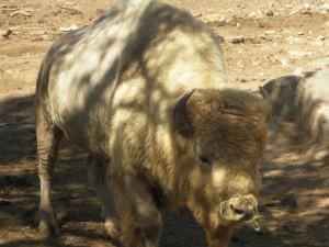 r white buffalo