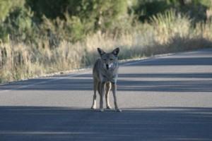 c c oyote